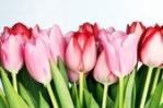 pink-tuliips